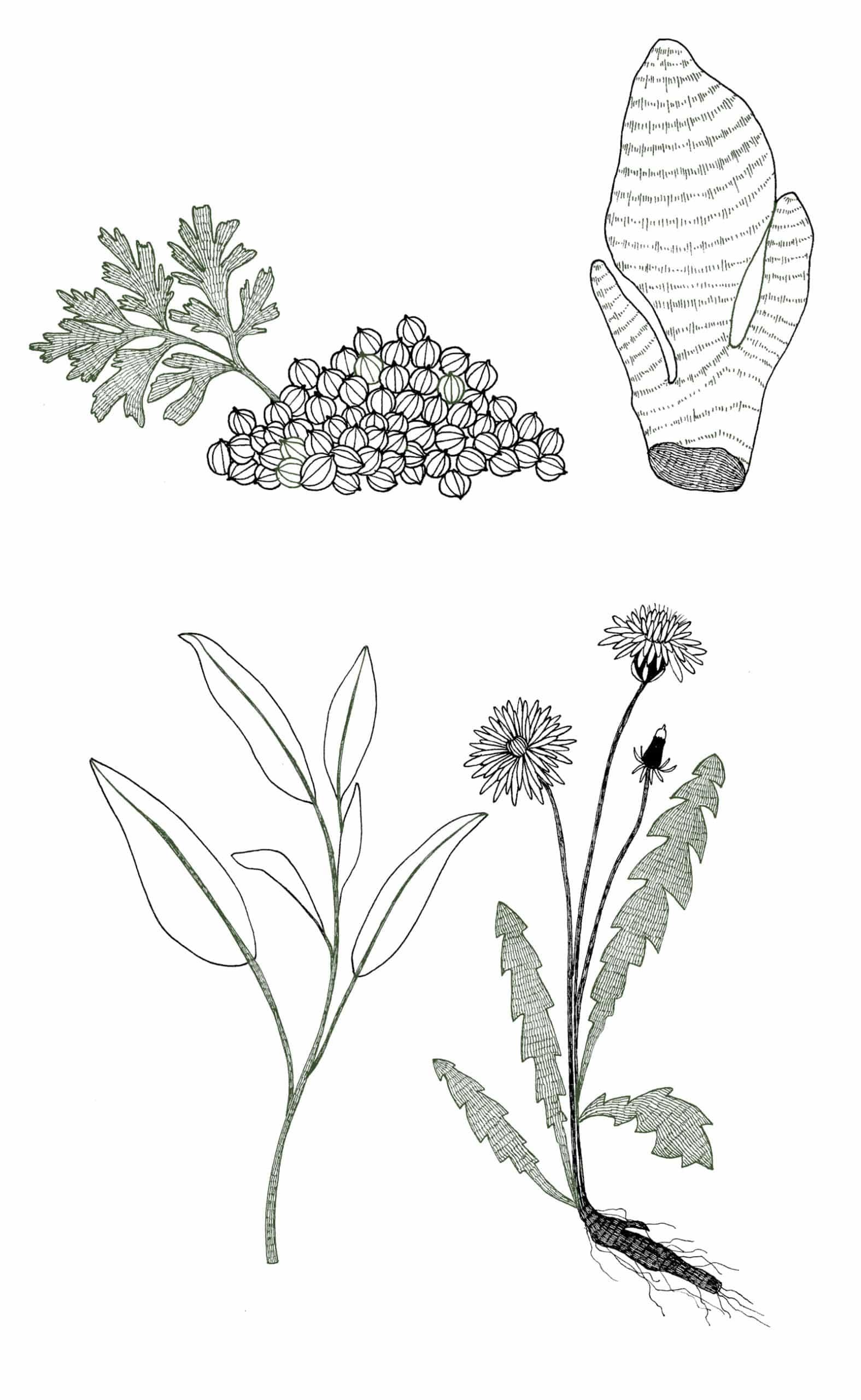 Illustrations des plantes (Gingembre, Coriandre, Sauge, Pissenlit) contenues dans le complément alimentaire sommeil. Version Mobile.