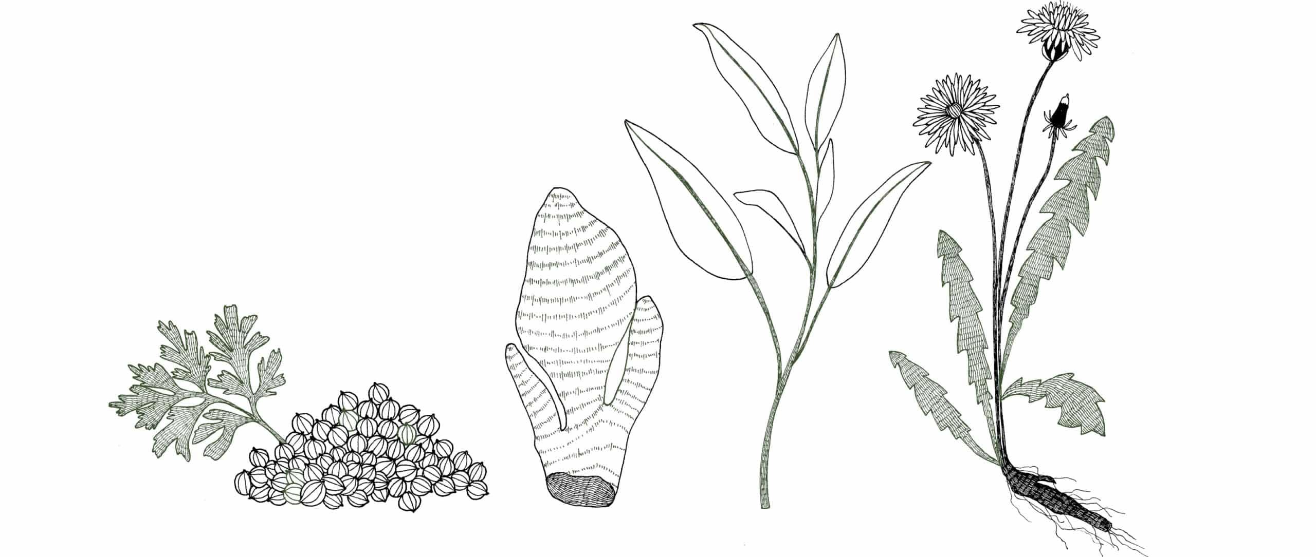 Illustrations des plantes (Gingembre, Coriandre, Sauge, Pissenlit) contenues dans le complément alimentaire sommeil.