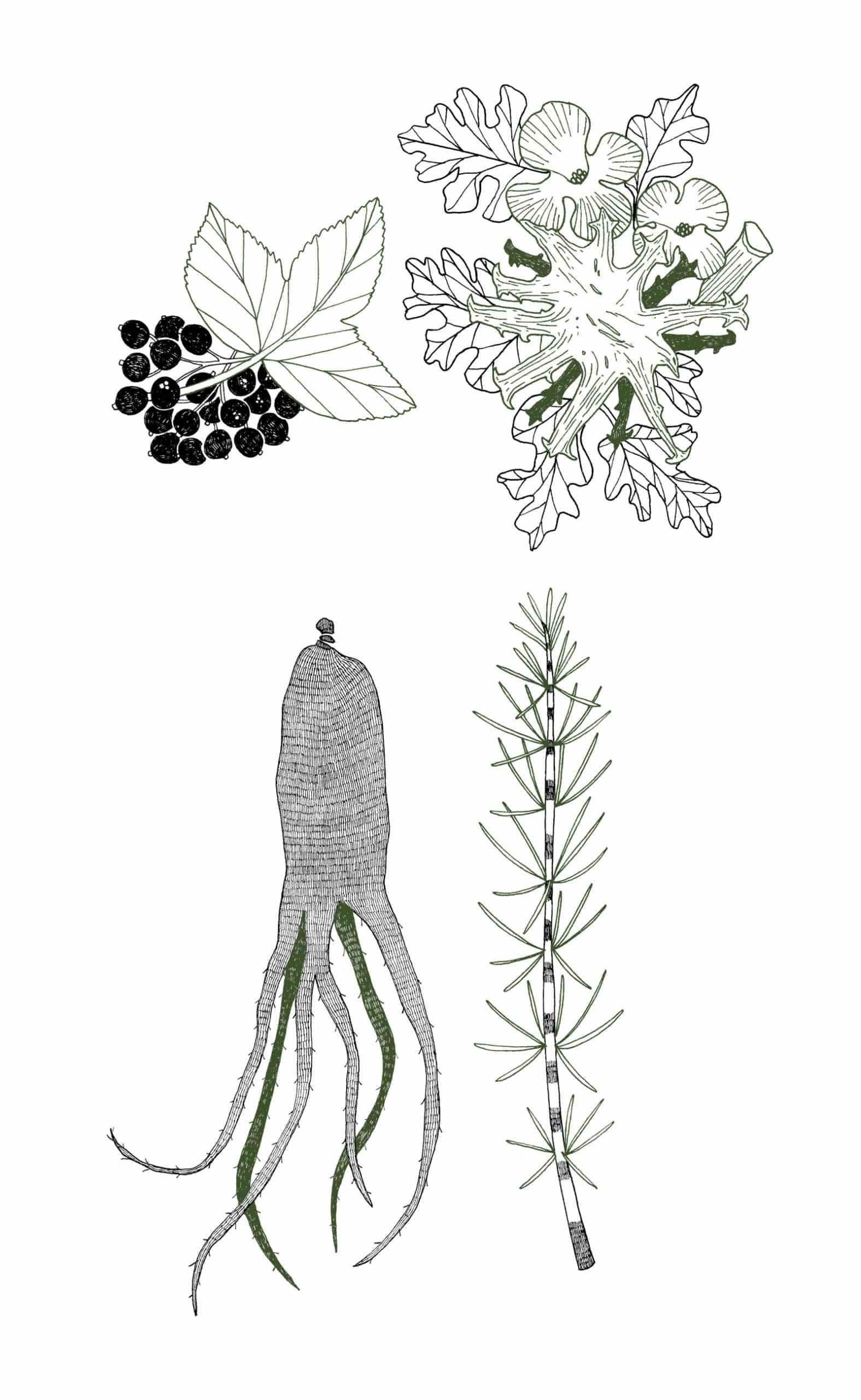 Illustrations des plantes (Ginseng Rouge, – Harpagophytum, Cassis et Prêle) contenues dans le complément alimentaire récupération. Version Mobile.