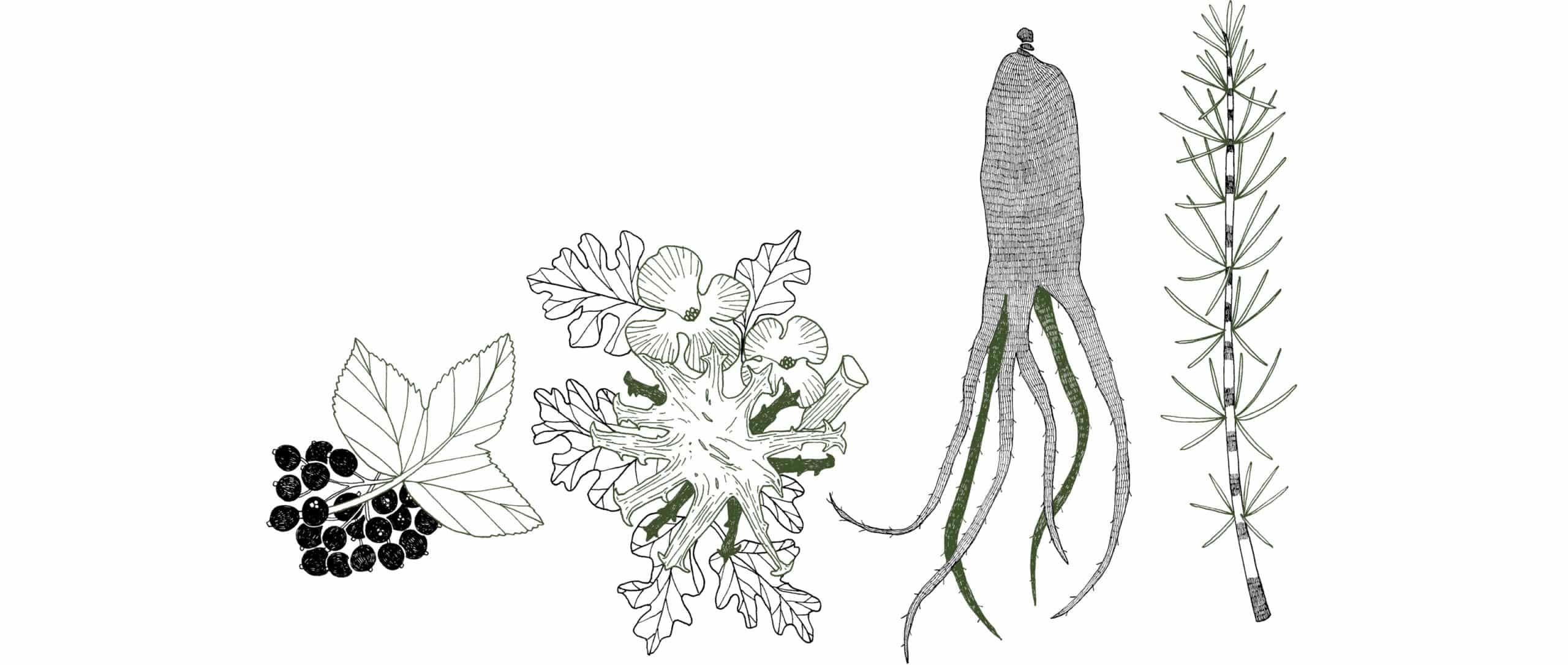 Illustrations des plantes (Ginseng Rouge, – Harpagophytum, Cassis et Prêle) contenues dans le complément alimentaire récupération.