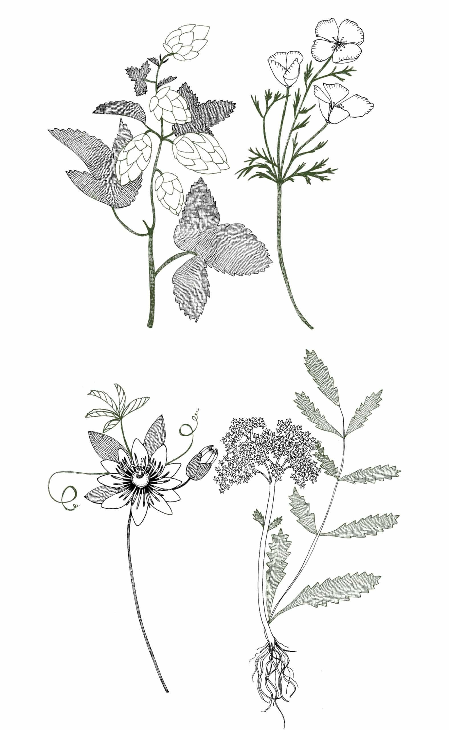 Illustrations des plantes (Houblon, Passiflore, Escholtzia et Valériane) contenues dans le complément alimentaire sommeil. Version mobile.