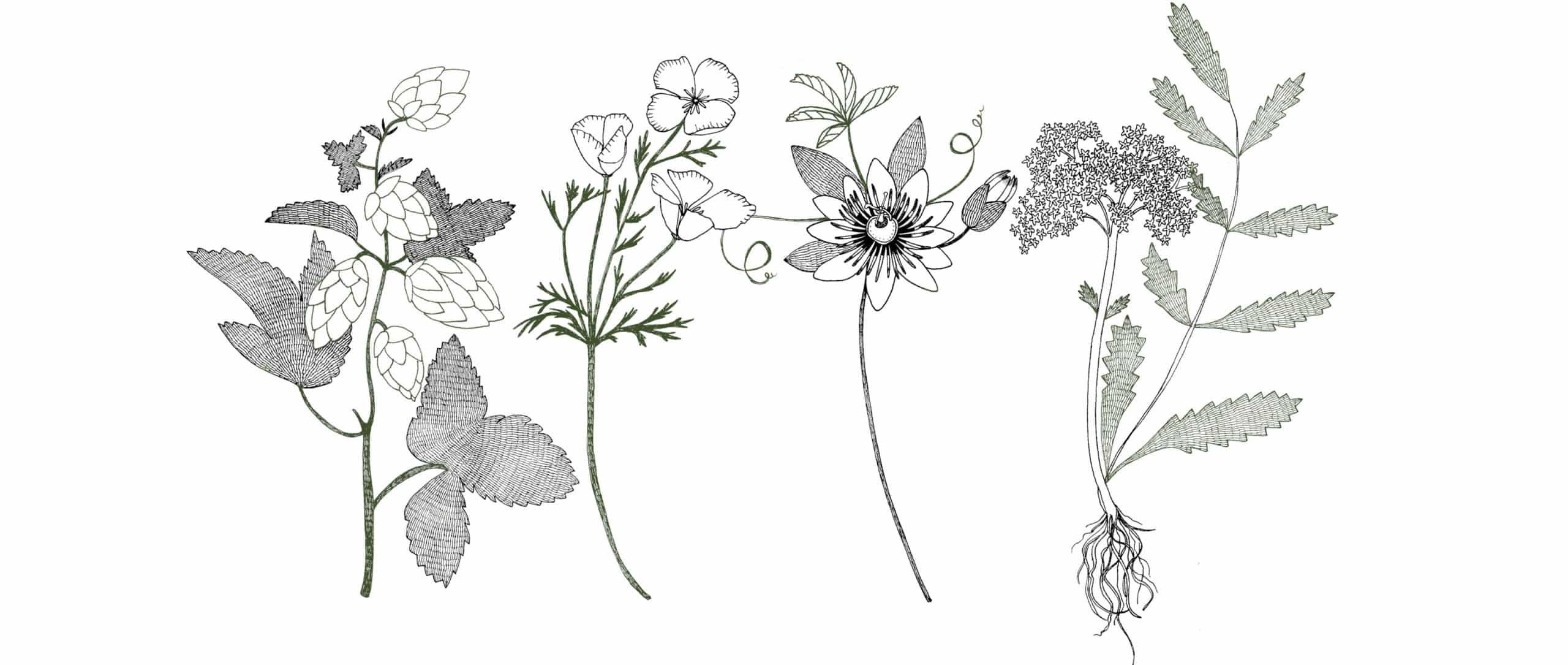 Illustrations des plantes (Houblon, Passiflore, Escholtzia et Valériane) contenues dans le complément alimentaire sommeil.