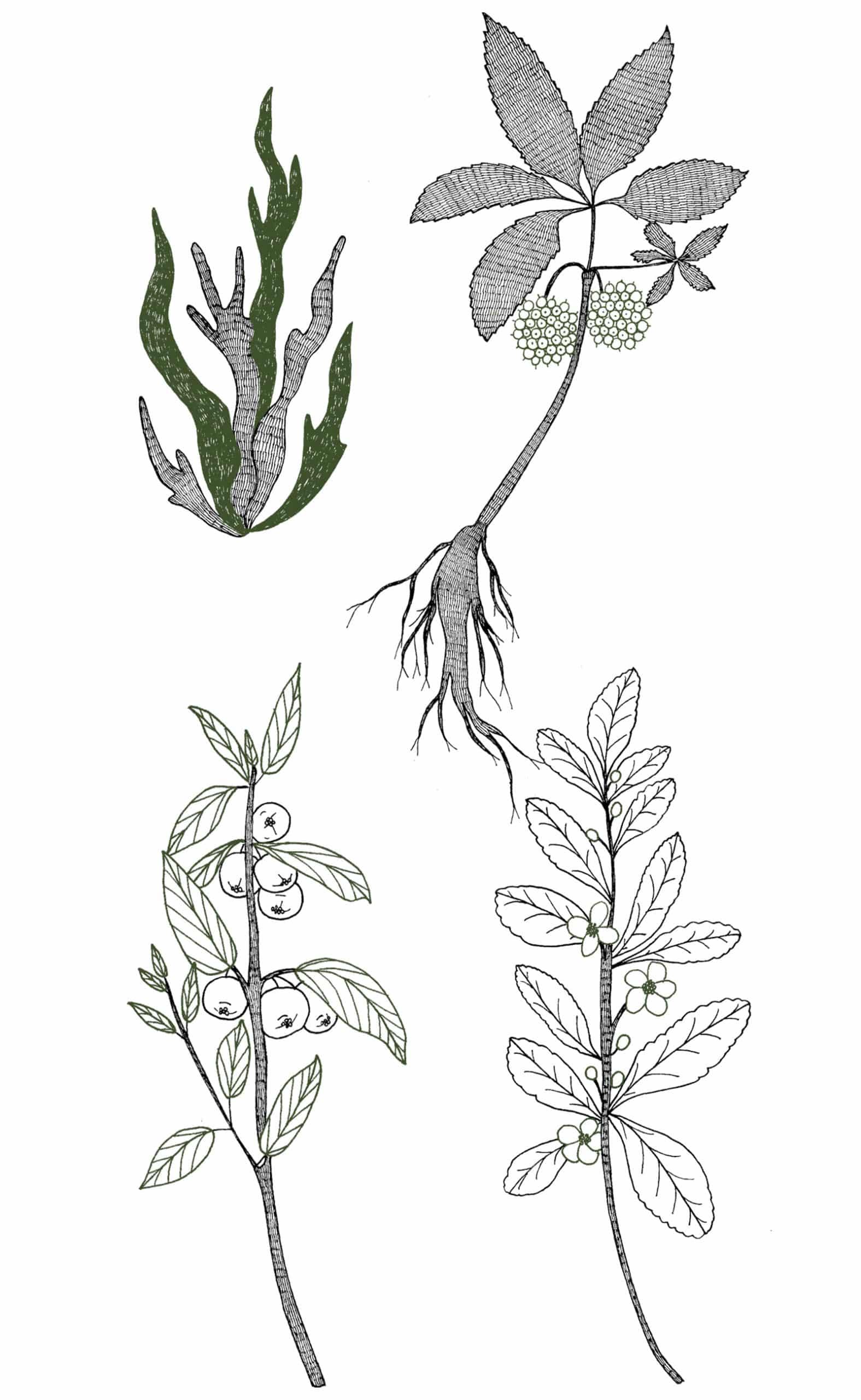 Illustrations des plantes (Thé Vert, Acérola, Eleuthérocoque et Spiruline) contenues dans le complément alimentaire vitalité. Version Mobile.