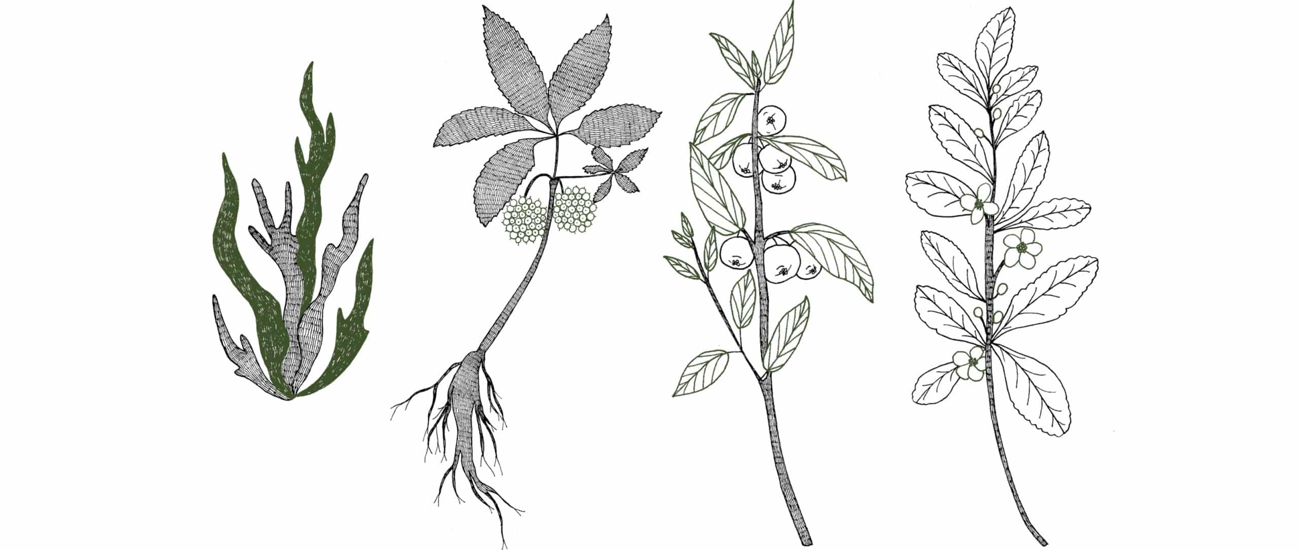 Illustrations des plantes (Thé Vert, Acérola, Eleuthérocoque et Spiruline) contenues dans le complément alimentaire vitalité.