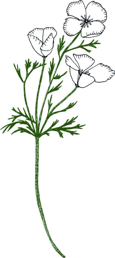 Escholtzia, illustration par Naetur