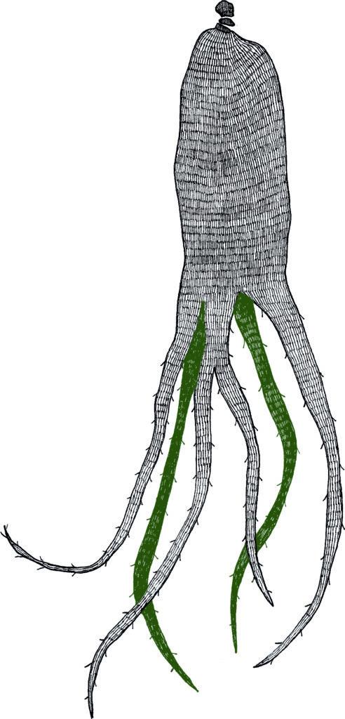 Ginseng Rouge, illustration par Naetur
